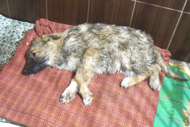 Сбитая машиной собака примерзла ко льду и не могла пошевелиться, но ее охранял верный друг