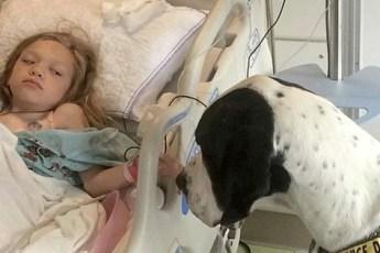 Огромный пёс подкрадывается к больничной койке маленькой Беллы, а теперь посмотрите на его спину