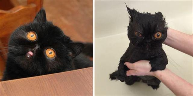 8 фотографий кошек после купания. Чистые, но затаившие обиду!