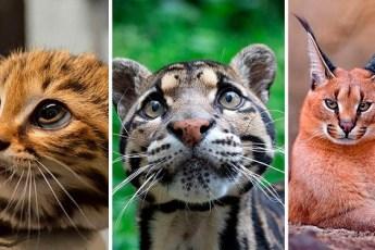 12 редких видов диких кошек. А вы знали о таких кошках?