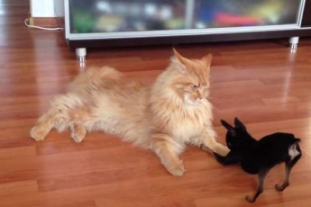 Огромные домашние коты. Такого если забудешь покормить, потом страшно будет спать!