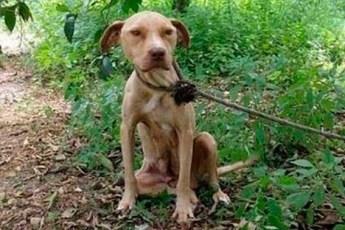 Питбуля оставили умирать привязанным к дереву. Но она смогла продержаться 10 дне до спасения, ведь было ради кого!