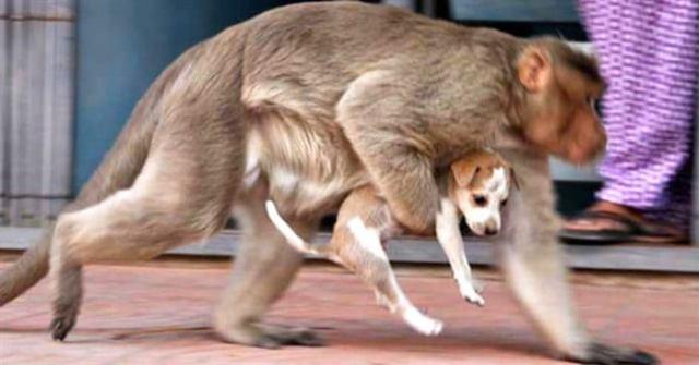 Обезьяна похищает щенка на улице и убегает, и никто не может угадать причину этого поступка