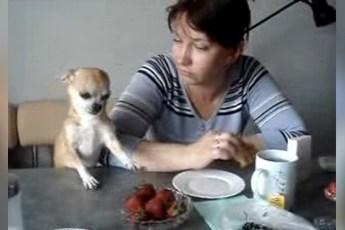 Маленькая чихуахуа просит у хозяйки клубничку. Видео для отличного настроения!