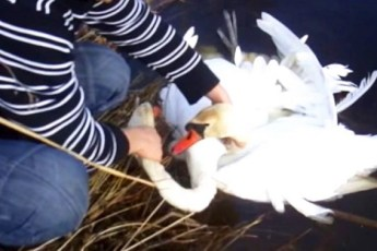 Этим двоим лебедям была необходима людская помощь. Парень смог совершить для них чудо