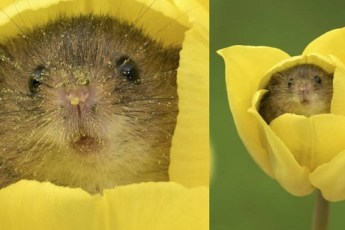 Фотограф на цыпочках, пробираясь сквозь тюльпаны, снимает мышей. Потрясающие работы!