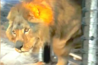 Всю свою жизнь этот лев прожил в клетке с бетонным полом. Посмотрите на его реакцию, когда он впервые видит траву