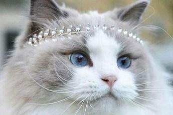 Знакомьтесь с самой красивой в мире кошкой. Аврора преданная и умная совсем как собака