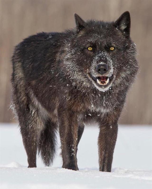 Волкособы, порода восхищающая всех