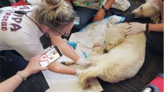 Собака пассажирки стала рожать в зале аэропорта! Роды закончились большим сюрпризом)