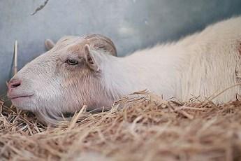 Козлик отказывался есть 6 дней, пока хозяева не поняли причину его депрессии