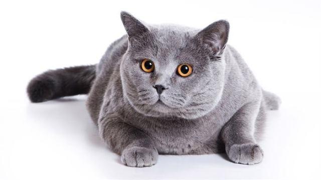 Список самых добрых пород кошек с характеристиками и описанием