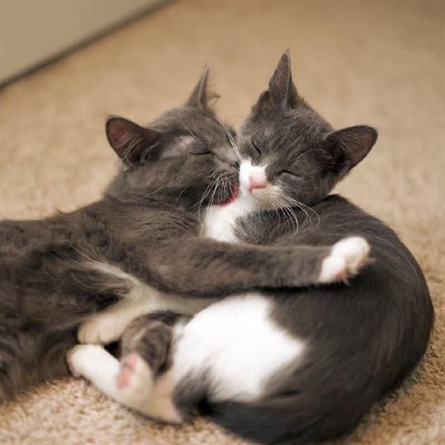 У этих красивейших кошек – одно сердце на двоихУ этих красивейших кошек – одно сердце на двоих