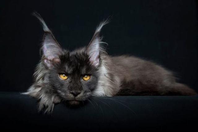 Мейн-кун: самая крупная порода кошек. Вот что вас ждёт, если решитесь