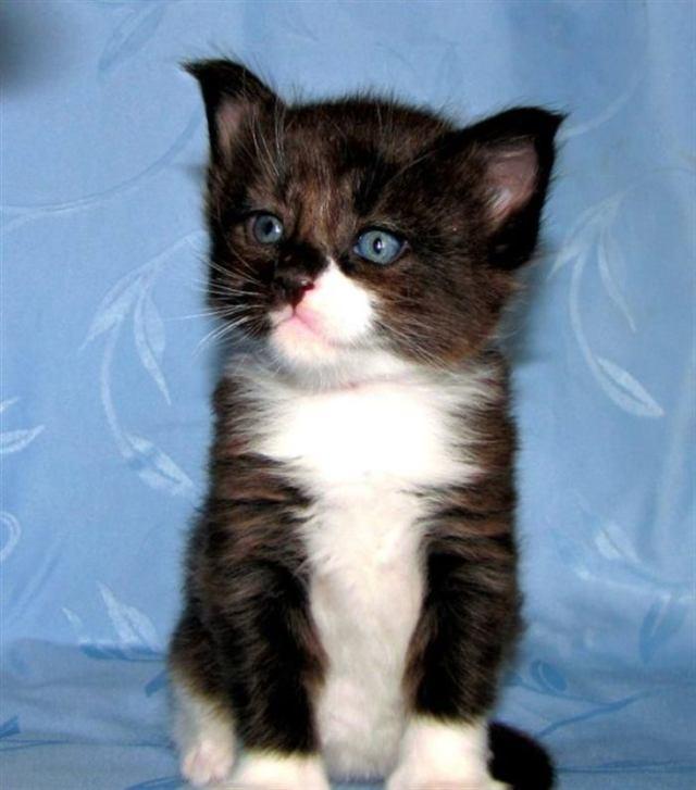 Маленький котенок вырос и стал настоящим «домашним львом»