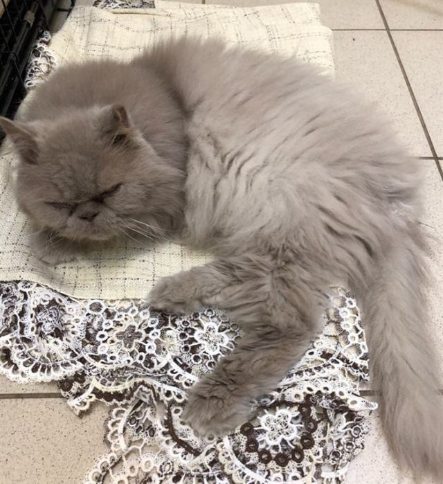 Серого пушистика оставили в аэропорту: новая жизнь кота Савелия