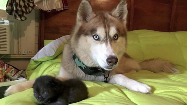 «Хаски тащил меня в лес силой!» Пёс нырнул в коробку и достал одного за другим 7 мокрых котят…