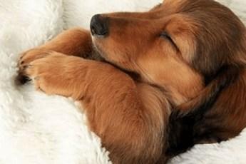 Милые песики, которые любят полежать в хозяйской кровати