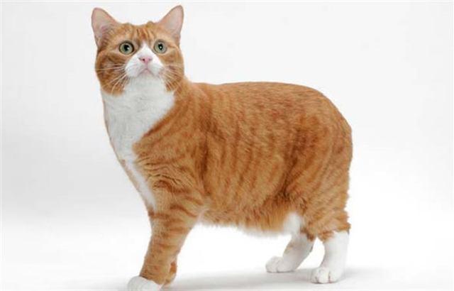 Породы котов которые любят сидеть на руках. Самые добрые породы кошек и котов