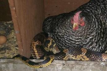 Змея охраняет курятник за 1 яйцо в неделю и греется под курицей