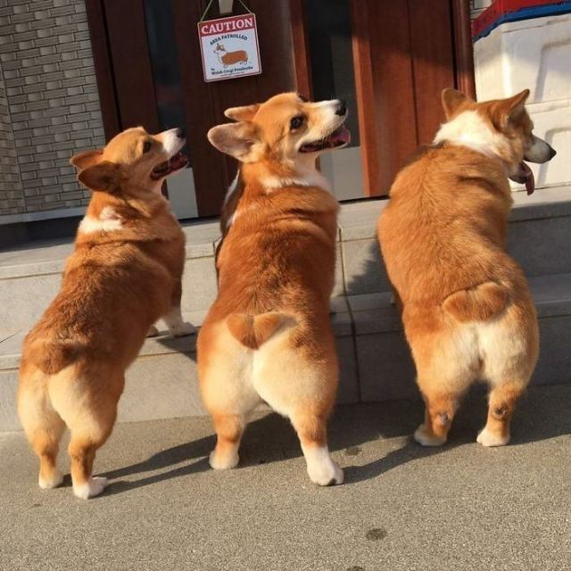 Фотографии самых забавных собак - корги