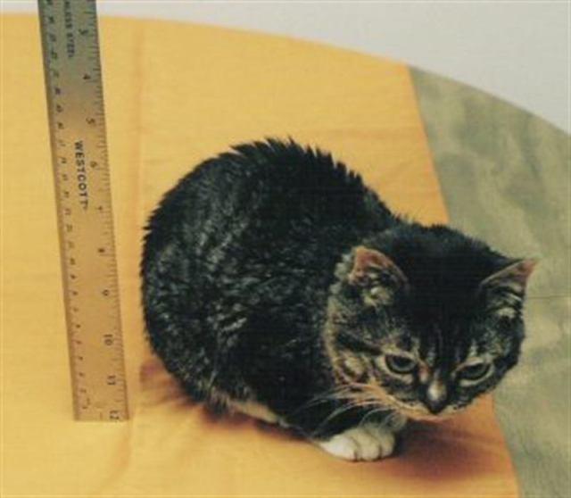 3 претендента на звание самая маленькая кошка в мире