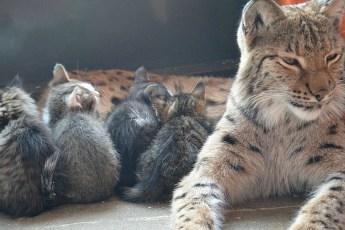 Рысь из Иркутского зоопарка, ранее вырастившая щенят, енота и медвежат, приняла под опеку котят