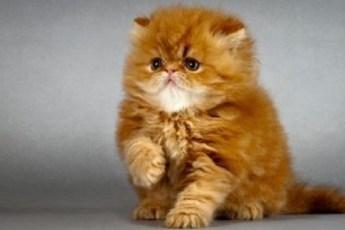 Самые неприхотливые кошки для квартиры