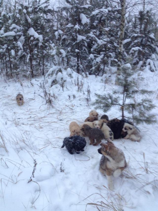 Мужчина нашел в лесу 20 беззащитных щенков, которых выбросили в метель