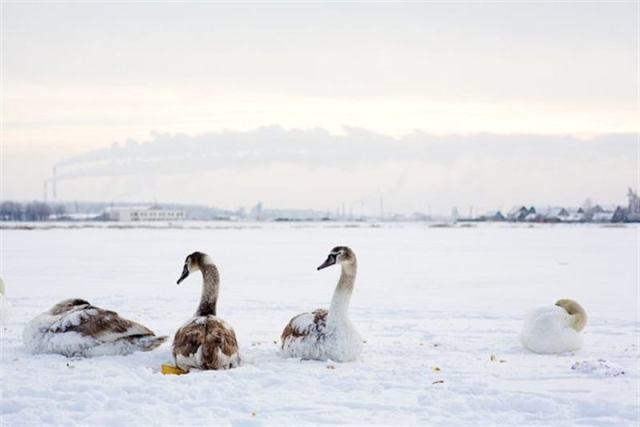 Обычная женщина спасла стаю лебедей от мороза