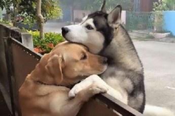 Ради объятий сквозь забор с лучшим другом, собака убегает со двора