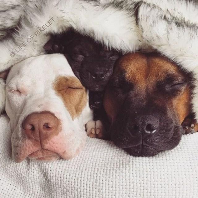Два спасённых питбуля приняли в свою банду третьего щенка по кличке Картошка