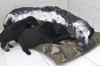 Бездомная собака страдала от ожогов, но не переставала беспокоится за щенков