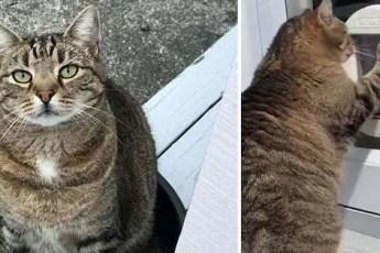 Толстый кот много лет притворялся, что не может пролезть в кошачью дверцу