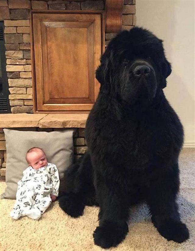 Доказательства того, что ньюфаундленды – не собаки, а огромные милые медведи