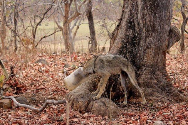 Дикий волк с банкой на голове пришел к людям за помощью