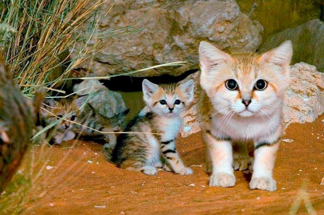 Редкие виды диких кошек, о которых вы не знали!
