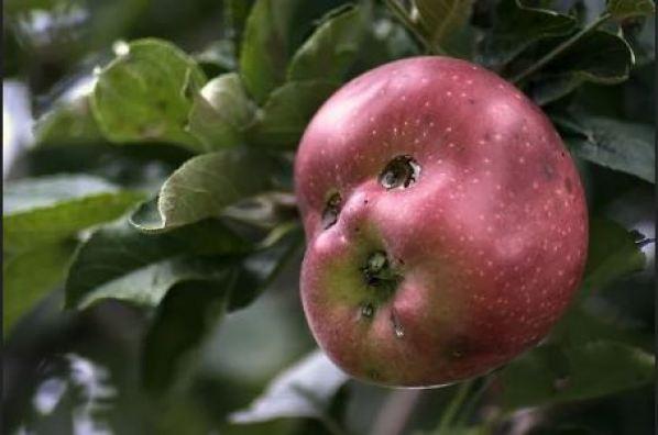«Природа чудит». Овощи и фрукты, которые отличаются своей забавной формой