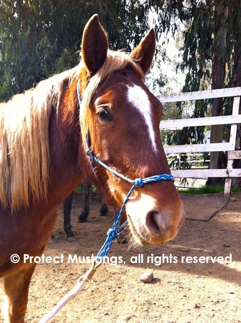 First time wearing a halter. January 29, 2013 (Photo © Protect Mustangs)