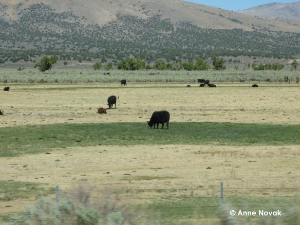 Cows in Nevada (Photo © Anne Novak)