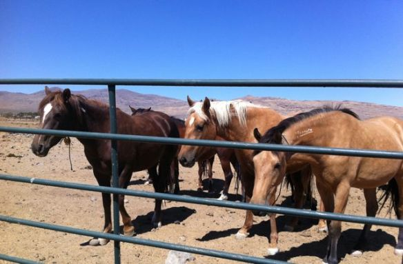 Wild horse mares in holding (Photo © Anne Novak, all rights reserved.)