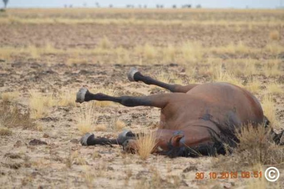 Aerial slaughter kills thousands of Brumbies (wild horses) in Australia. Copyrighted photo.