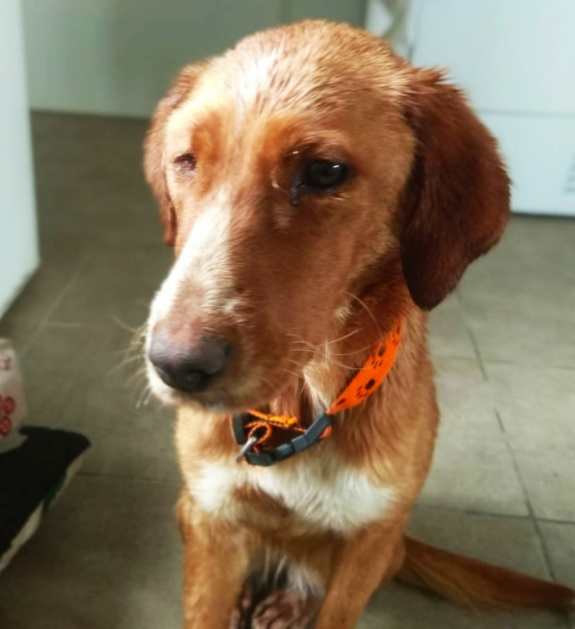 mara perra podenca en adopción en la asociación protectora de jaca abr20