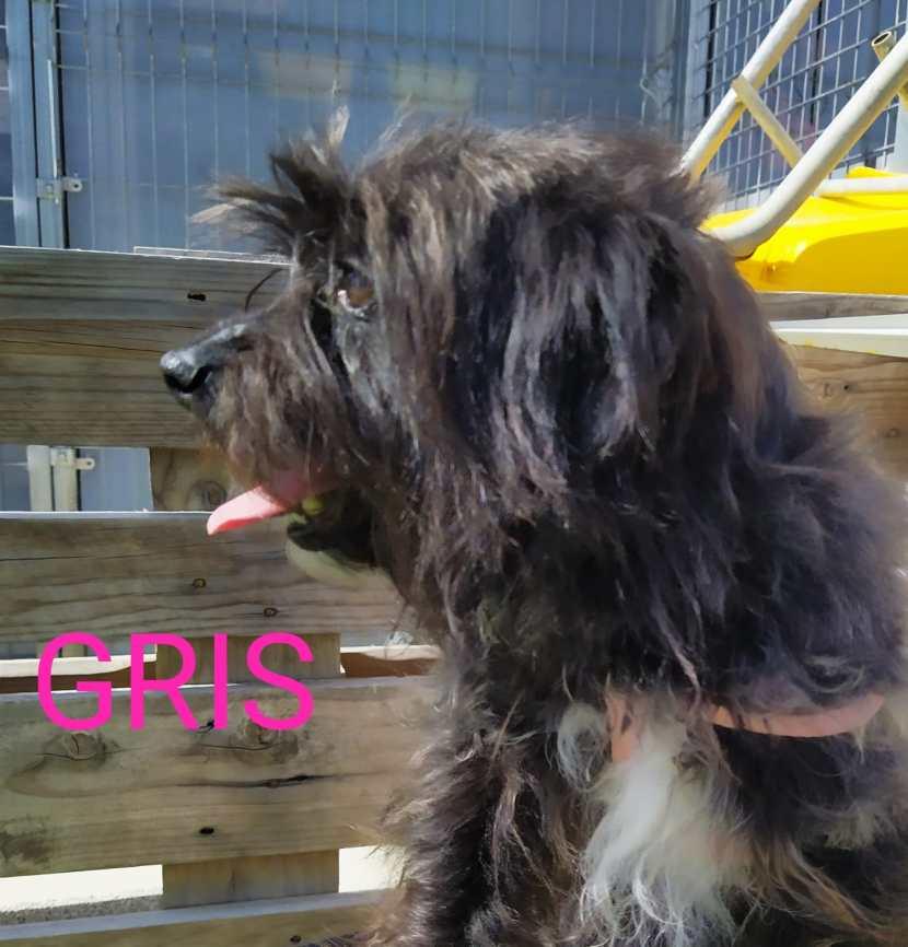 gris perro PEQUEÑo EN ADOPCIÓN EN LA PROTECTORA DE JACA MAY20