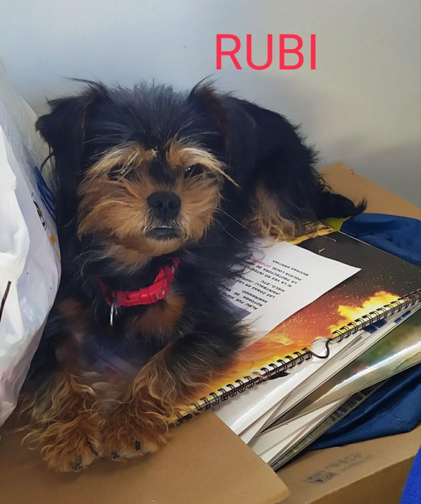 RUBI Yorkshire terrier PERRO PEQUEÑO EN ADOPCIÓN EN LA PROTECTORA DE ANIMALES DE JACA