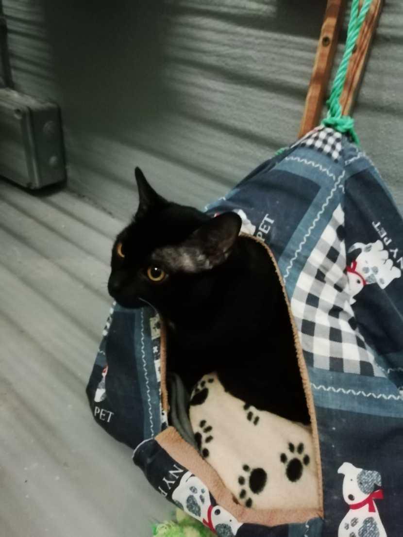 moyo gato joven en adopción en la protectora para animales abandonados de jaca ene21