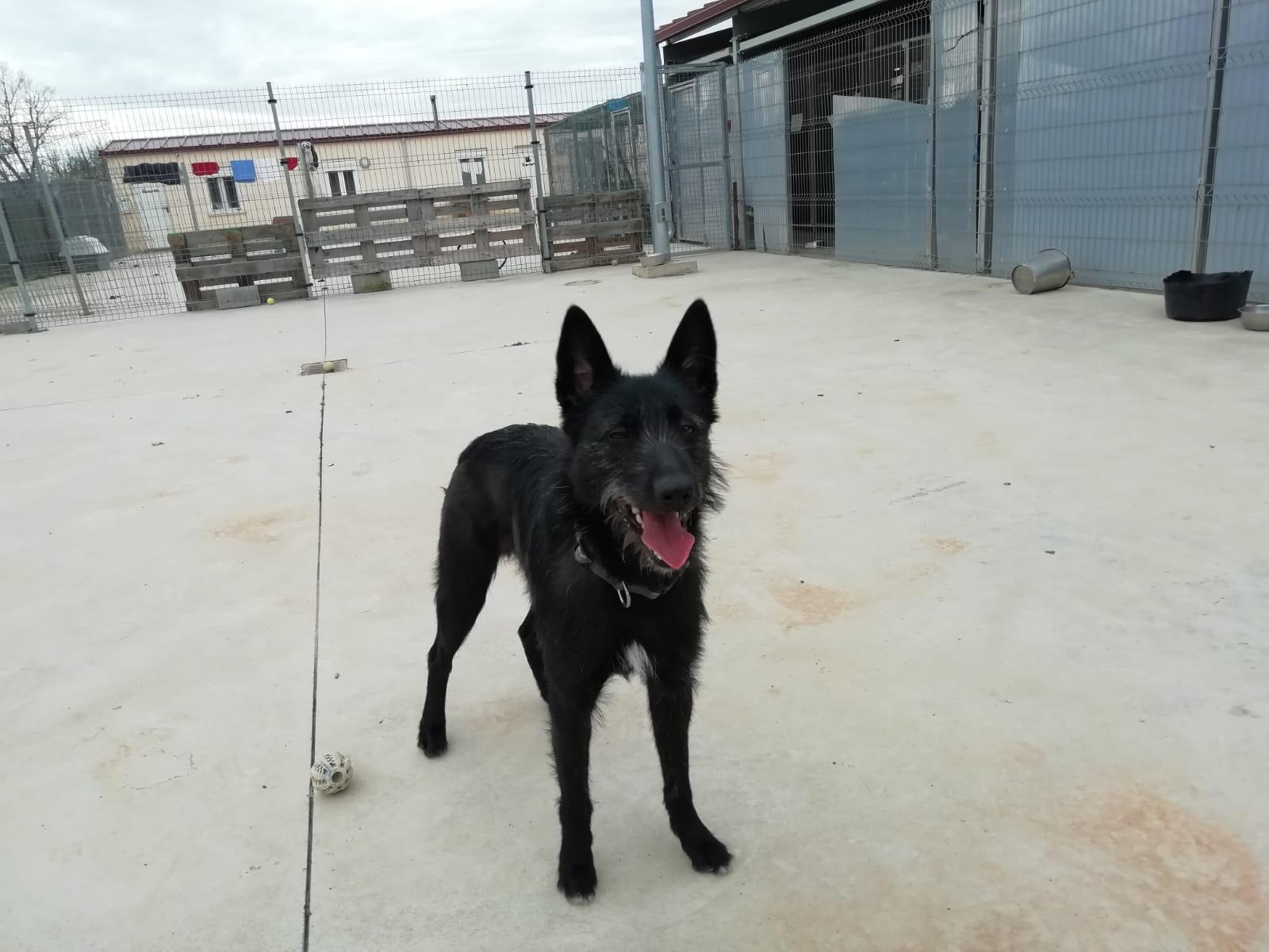 REI PERRO PASTOR BELGA JOVEN EN ADOPCIÓN EN LA PROTECTORA PARA ANIMALES ABANDONADOS DE JACA
