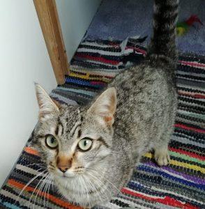 mia gata joven en adopción en la protectora para animales abandonados de jaca abr21