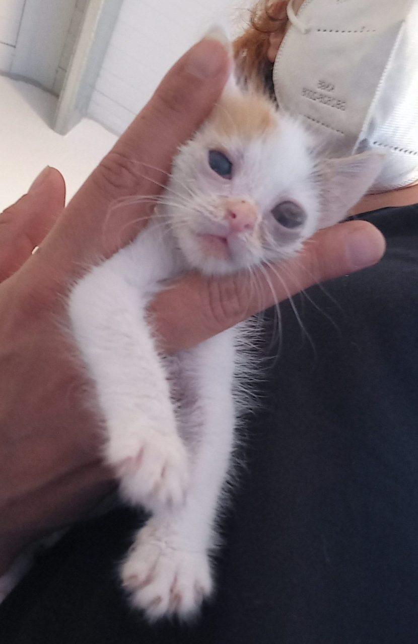 SIMBA gata bebe en acogida o adopción en la protectora de animales de Jaca