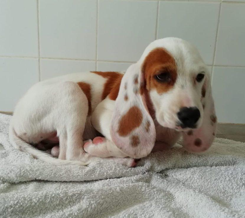 ibby perro sabueso cachorro en adopción en la protectora para animales abandonados de jaca 2021